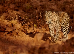 asian-leopard-copyright-photographers-on-safari-com-7266