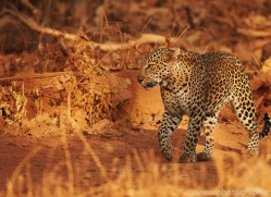 asian-leopard-copyright-photographers-on-safari-com-7267
