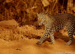 asian-leopard-copyright-photographers-on-safari-com-7268