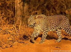 asian-leopard-copyright-photographers-on-safari-com-7269