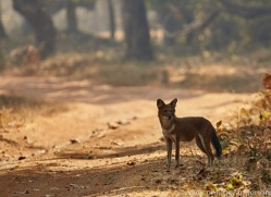 asiatic-wild-dogs-copyright-photographers-on-safari-com-7271