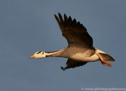 bar-headed-goose-copyright-photographers-on-safari-com-7275