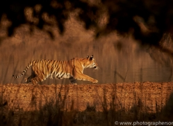 bengal-tiger-copyright-photographers-on-safari-com-7276