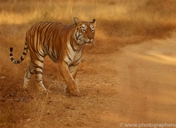 bengal-tiger-copyright-photographers-on-safari-com-7277