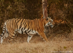 bengal-tiger-copyright-photographers-on-safari-com-7278