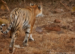 bengal-tiger-copyright-photographers-on-safari-com-7282