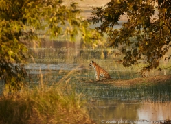 bengal-tiger-copyright-photographers-on-safari-com-7283