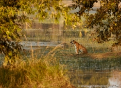 bengal-tiger-copyright-photographers-on-safari-com-7284