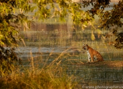 bengal-tiger-copyright-photographers-on-safari-com-7285