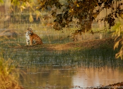 bengal-tiger-copyright-photographers-on-safari-com-7286