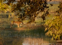 bengal-tiger-copyright-photographers-on-safari-com-7287