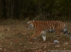 bengal-tiger-copyright-photographers-on-safari-com-7289