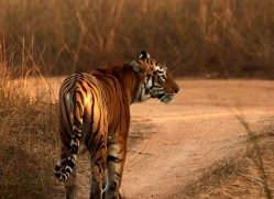 bengal-tiger-copyright-photographers-on-safari-com-7290