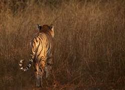bengal-tiger-copyright-photographers-on-safari-com-7291