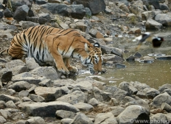 bengal-tiger-copyright-photographers-on-safari-com-7293
