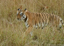 bengal-tiger-copyright-photographers-on-safari-com-7295