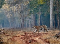 bengal-tiger-copyright-photographers-on-safari-com-7296
