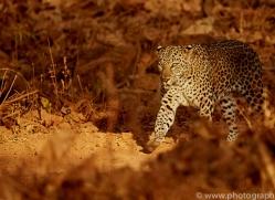 asian-leopard-copyright-photographers-on-safari-com-7265