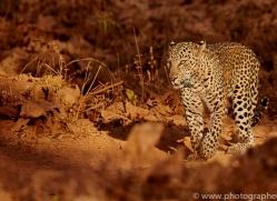 asian-leopard-copyright-photographers-on-safari-com-7266
