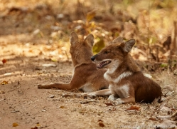 asiatic-wild-dogs-copyright-photographers-on-safari-com-7272