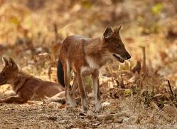 asiatic-wild-dogs-copyright-photographers-on-safari-com-7273