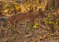 asiatic-wild-dogs-copyright-photographers-on-safari-com-7274