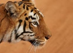 bengal-tiger-copyright-photographers-on-safari-com-7279