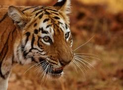 bengal-tiger-copyright-photographers-on-safari-com-7280