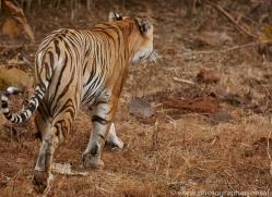 bengal-tiger-copyright-photographers-on-safari-com-7282
