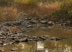 bengal-tiger-copyright-photographers-on-safari-com-7288