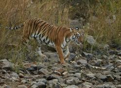bengal-tiger-copyright-photographers-on-safari-com-7292