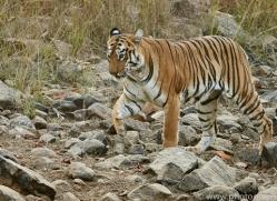 bengal-tiger-copyright-photographers-on-safari-com-7294