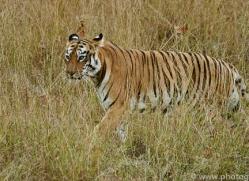 bengal-tiger-copyright-photographers-on-safari-com-7295