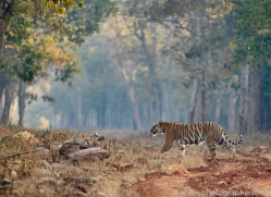 bengal-tiger-copyright-photographers-on-safari-com-7297