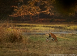 bengal-tiger-copyright-photographers-on-safari-com-7299
