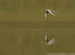 black-chested-tern-copyright-photographers-on-safari-com-7302