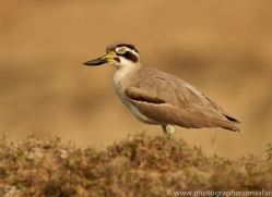 eurasian-thick-knee-copyright-photographers-on-safari-com-7311