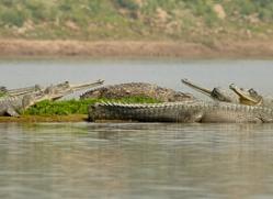 gharial-copyright-photographers-on-safari-com-7316