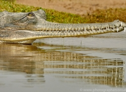 gharial-copyright-photographers-on-safari-com-7317