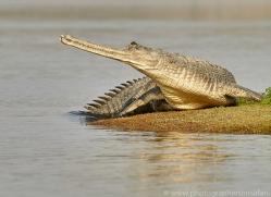 gharial-copyright-photographers-on-safari-com-7318