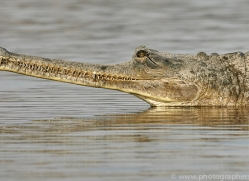 gharial-copyright-photographers-on-safari-com-7320