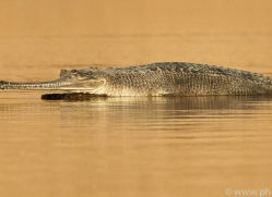 gharial-copyright-photographers-on-safari-com-7321