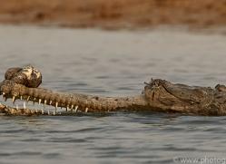 gharial-copyright-photographers-on-safari-com-7326