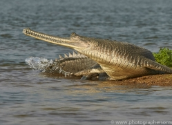 gharial-copyright-photographers-on-safari-com-7327