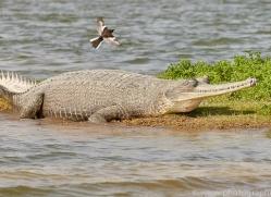 gharial-copyright-photographers-on-safari-com-7329