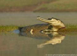 gharial-copyright-photographers-on-safari-com-7339