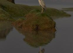 grey-heron-copyright-photographers-on-safari-com-7340