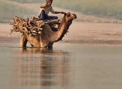 indian-camel-copyright-photographers-on-safari-com-7345