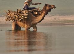 indian-camel-copyright-photographers-on-safari-com-7347