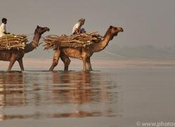 indian-camel-copyright-photographers-on-safari-com-7350